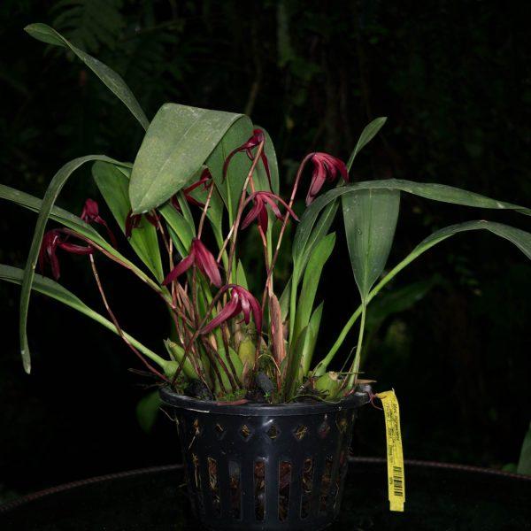 Planta de orquídea Maxillaria con hojas verdes largas y varias flores largas y pequeñas de color rojo vino en un pote negro con agujeros y fondo negro