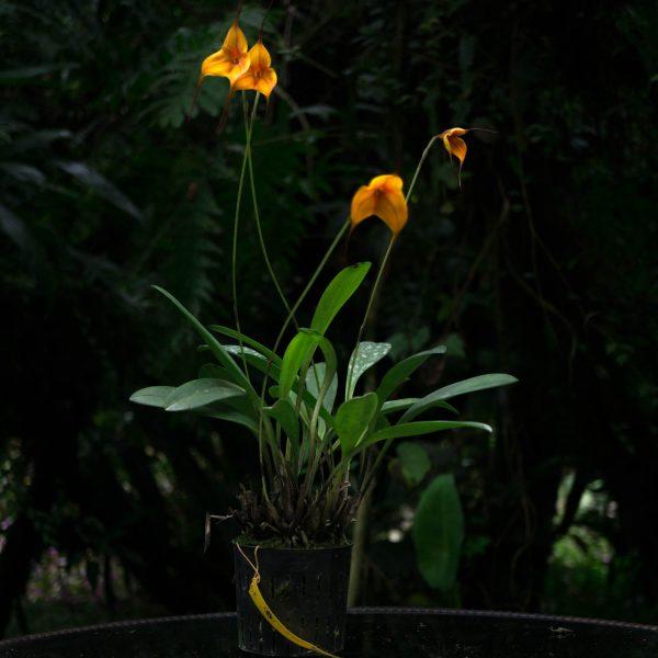 Planta de orquídea Madevallia pequeña con hojas verdes delgadas y largas y flores pequeñas amarillas en forma de triangulo y fondo negro