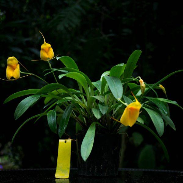 Planta de orquídea Masdevallia con varias hojas verdes largas y flores pequeñas amarillas en forma de triangulo con pelitos en un pote pequeño negro y fondo oscuro