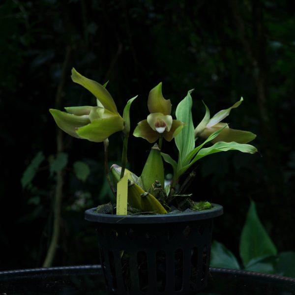 Planta de orquídea Lycaste con hojas verde caña y 3 flores con sépalos largos verde oscuro y petalos blancos en un pote pequeño negro y fondo oscuro