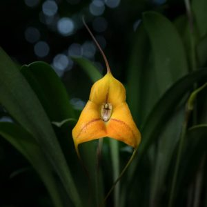 Masdevallia orchid orange triangle-shaped flower with stripes on the middle and green leaves on the back