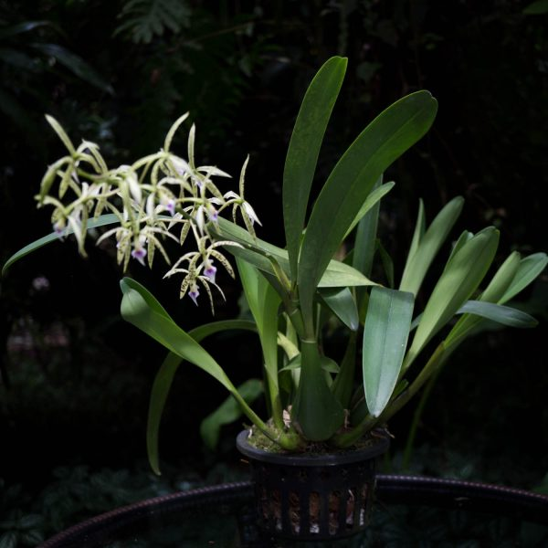 Encyclia plant with green long leaves with an inflorescence with various small star-shaped green flowers with black spots in a black holed pot and black background