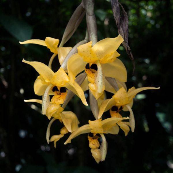 Inflorescencia de Stanhopea flores colgantes grandes de color amarillo con manchas negras y hojas de otras plantas de fondo