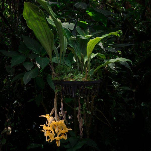 Planta de orquídea Stanhopea con hojas verdes largas y anchas con flores grandes colgantes de colore amarillo con manchas negras en un pote negro con agujeros y de fondo hojas verdes de otras plantas